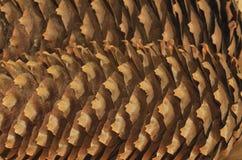 Norway Spurce Cones. Closeup - Picea abies Royalty Free Stock Photos