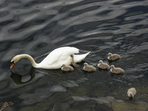 Norway - Swan family on foraging stock photo