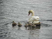 Norway - Swan family on foraging royalty free stock photography
