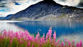 Norway . view of the lake under the glacier through the purple f. Lowers . blue clear water Royalty Free Stock Image