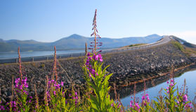 Norway. Willow-herb flowers against the well-known transatlantic Royalty Free Stock Photo