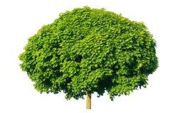 Norwegen-Ahorn (Acer-platanoides) Stockfotos