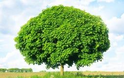 Norwegen-Ahorn (Acer-platanoides) Stockbild