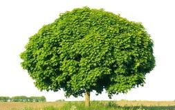 Norwegen-Ahorn (Acer-platanoides) Lizenzfreie Stockfotografie