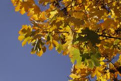 Norwegen-Ahorn, Acer-platanoides im Herbst, Deutschland Stockfotografie