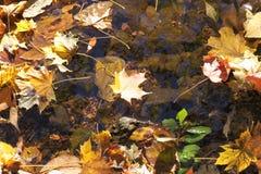 Norwegen-Ahornblatt, das in Bachwasser schwimmt Stockfotografie