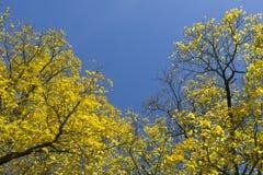 Norwegen-Ahornhölzer im Herbst Stockbilder