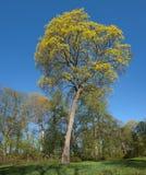 Norwegen-Ahornholz (Acer platanoides) Stockbild