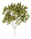 Norwegen-Ahornholzbaum getrennt auf Weiß Lizenzfreie Stockfotos