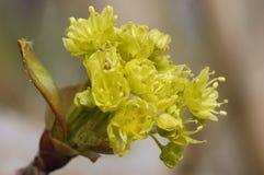 Norwegen-Ahornholzblume - Acer platanoides Stockbilder