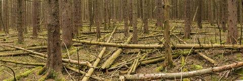 Norwegen-Fichte Forest Panorama Stockfotos
