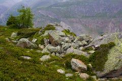 Norwegen-Fichte und -rhododendron auf felsigem Bereich Stockfoto