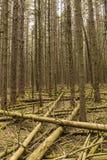 Norwegen-Fichten-Wald lizenzfreies stockfoto
