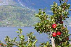 Norwegian apples Stock Photography