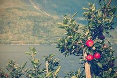 Norwegian apples Stock Image
