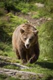 Walking Brown Bear Royalty Free Stock Photos