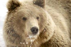 Norwegian brown bear in winter Stock Image