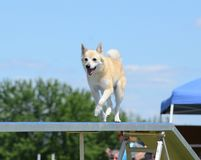 Norwegian Buhund at a Dog Agility Trial stock images