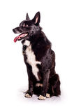 Norwegian Buhund. Portrait of a norwegian buhund on a white background Stock Images