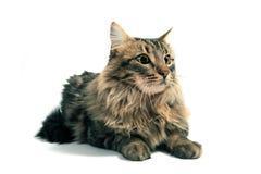 Norwegian cat Royalty Free Stock Image