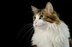 Norwegian cat Stock Photography