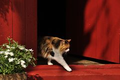 Norwegian Cat Stock Image
