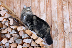 A Norwegian cat climbs on fire wood Royalty Free Stock Photography