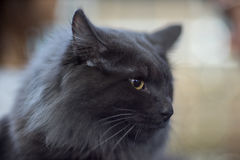 Norwegian cat. Grey - Owner`s frame Stock Photos