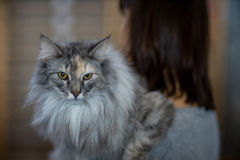 Norwegian cat. Pedigree Cat - Tortoiseshell Royalty Free Stock Image