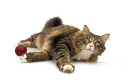 Norwegian Cat Playing Royalty Free Stock Images