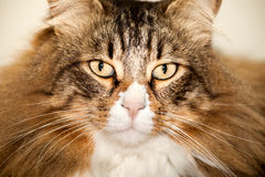 Norwegian Cat Portrait Royalty Free Stock Image