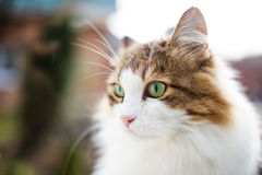 Norwegian cat portrait in meadow at morning. Soft light. Stock Images