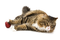 Norwegian Cat Relaxing Royalty Free Stock Image