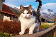 Norwegian cat Stock Photo