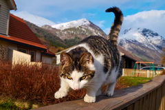 Norwegian cat Royalty Free Stock Photography