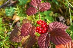 Norwegian cloud-berries. edible berry Stock Photos