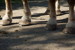 Norwegian Clydesdales with heavy pull shoes. Feet of Norwegian Clydesdales with the heavy pull horse shoes Stock Images