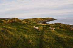 Norwegian countryside with sheep Royalty Free Stock Photos