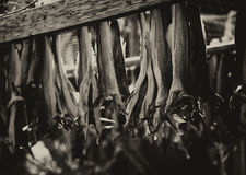 Norwegian dried fish on dryer sepia background Stock Photo