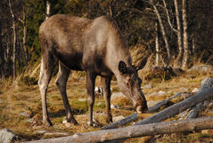 Norwegian Elk Stock Photography