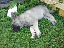 Norwegian elk hound. Puppy sleeping Stock Photos