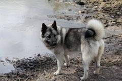 Norwegian Elkhound Royalty Free Stock Photos