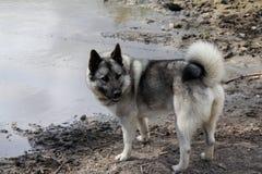Norwegian Elkhound. On the creek shore Royalty Free Stock Photos