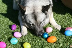 Norwegian Elkhound Dog Laying on Grass Playing with Easter Eggs Royalty Free Stock Photography