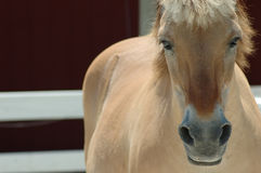 Norwegian Fjord Horse Stock Photo
