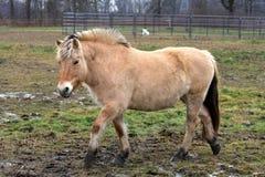 Norwegian Fjord Horse Royalty Free Stock Photos