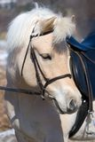 Norwegian Fjord horse Royalty Free Stock Photos
