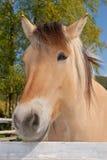 Norwegian fjord horse Stock Images