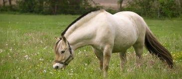 Norwegian Fjord horse stock image