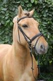 Norwegian Fjord Horse. A Norwegian Fjord horse looking / starring at something Stock Photo